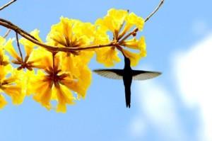 sementes-de-ip-amarelo-para-mudas-ou-arvore-21204-MLB20206496613_122014-F